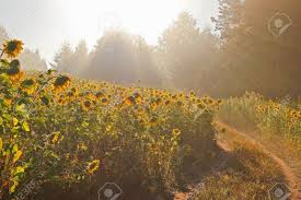 Light Of Dawn Sunflower Field In The Light Of Dawn In The Early Morning In