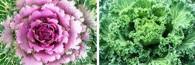 ornamental cabbage and kale it cool garden with diana