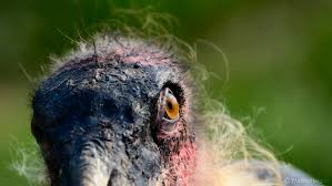 portrait of a marabou stork the most beautiful ugly birds on