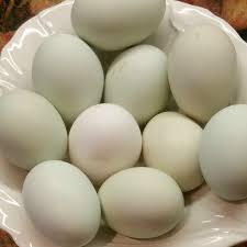 easter egger chicken hatching eggs