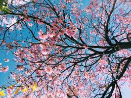 cherry blossom tree low angle photography of bloomed cherry blossom tree free image