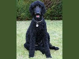 afghan hound and poodle poodle standard photo picture of poodle standard dogs