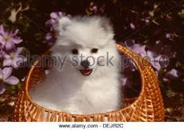 american eskimo dog vector american eskimo dog puppy in basket stock photo royalty free