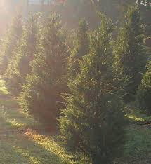 papa santa u0027s christmas tree farm home facebook
