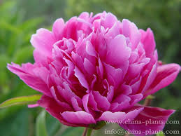 Peonies For Sale Wholesale Herbaceous Peony Seedlings Supply Herbaceous Peony
