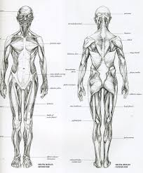 muscle anatomy for drawing human muscle anatomy drawing reference