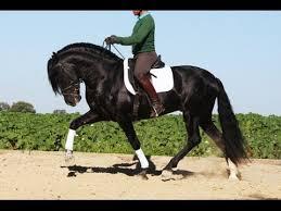 pura sale pura raza espanola carthusian black stallion for sale