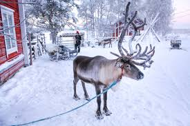 finland naturally what are santa u0027s reindeer like