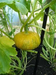 1054 best vegetable plants images on pinterest vegetables fruit