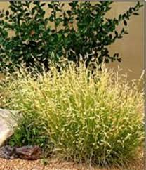 landscaping grasses warm season 1 2 evansville lawn landscape