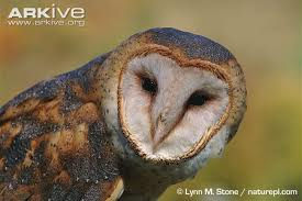 Barn Owl Photography Barn Owl Photo Tyto Alba A7141 Arkive