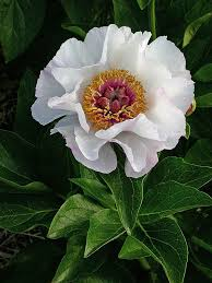 Peony Flower 995 Best Peonies Images On Pinterest Flowers Peony And Peony Flower