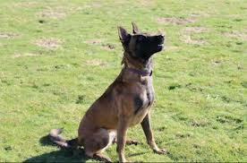 chow chow x belgian malinois karma u2013 2 3 year old female belgian shepherd dog for adoption