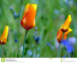 california poppy and buds stock photo image 19946330