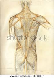 drawing male muscles pencil stock images royalty free images