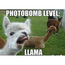 Alpaca Sheep Meme - the 9 funniest llama memes kendrick llama llama del rey and