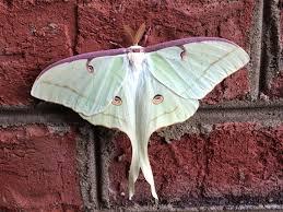 large white moth moth photographers group hyphantria cunea 8140