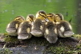 mallard duck photo gallery and trivia