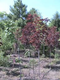 crimson king maple trees for sale