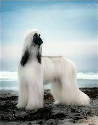 afghan hound in clothes all beauty tap the pin for the most adorable