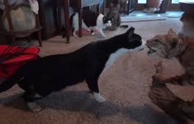 video house cats can u0027t figure out whether stuffed bobcat is alive
