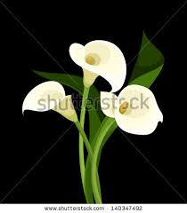 cala lillies calla stock images royalty free images vectors