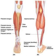 Human Anatomy Muscle Leg Muscles Of Human Leg Posterior View Encyclopedia
