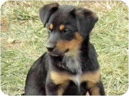 australian shepherd puppies rescue tx heeler pups adopted puppy brooksville fl australian