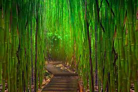 Bamboo Flooring Hawaii Bamboo Forest In Maui Hawaii Utrip