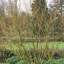 twisted willow trees ebay