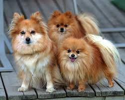 top 4 smallest dog breeds and their temperament u2013 ivan