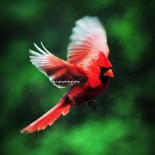 cardinal bird home decor cardinal in flight cardinal red male cardinal christmas red