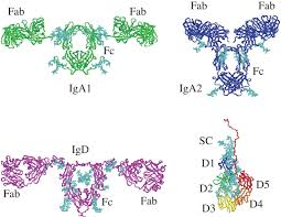 constrained solution scattering modelling of human antibodies and