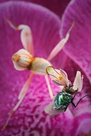 Orchids Facts by Secrets Of The Orchid Mantis Revealed U2013 It Doesn U0027t Mimic An Orchid