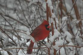 tomorrow is the last day of the great backyard bird count