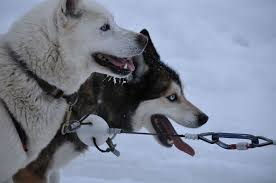 dog sled wikipedia