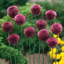 allium flowers allium gladiator buy in bulk at edenbrothers