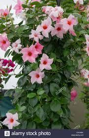 mandevilla cream pink climbing plant stock photo royalty free