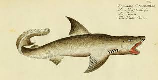 sharks were once called sea dogs and other little known facts