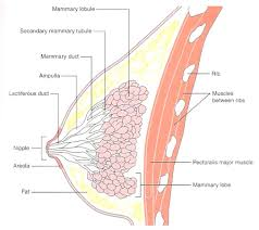 The Female Anatomy The Female Anatomy Of The Female The Function