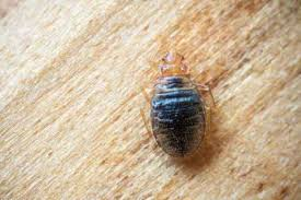 Chicago Bed Bug Experts Bed Bugs