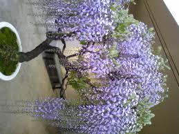wisteria sinensis australian bush flower japanese wisteria bonsai wisteria floribunda visual gardening