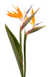 bird of paradise flower bird of paradise bird of paradise flower bird of paradise flowers