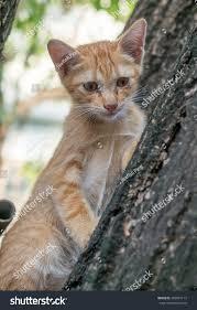 little cute golden brown kitten climb stock photo 493967113