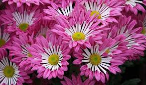 100 pictures of chrysanthemums flowers fall mums flowers
