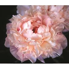 where to buy peonies peonies bare root peonies peony plants for sale