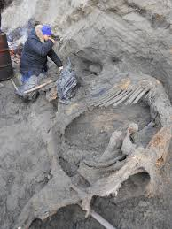butchered mammoth suggests humans lived siberia 45 000