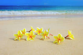plumeria flowers hawaii yellow plumeria flowers on the stock photo dissolve