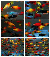 platy fish farm for sale ornamental fish exporter buy