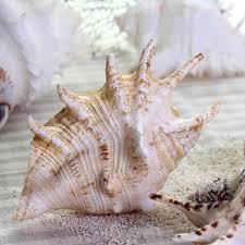 natural conch shells seven horns trumpet shell photo props